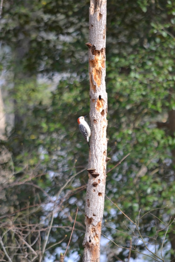 woodpecker on dead tree