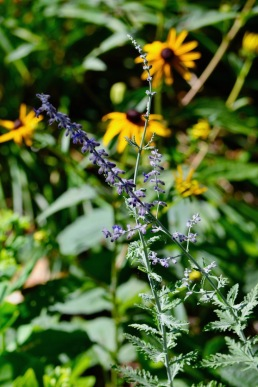 Russian Sage with Black-eyed Susan in back