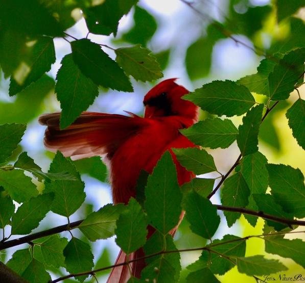 cardinal DSC_0627