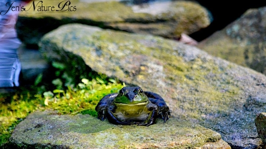 DSC_0552frog