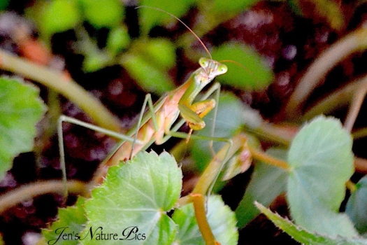 dsc_0597prayingmantis.jpg