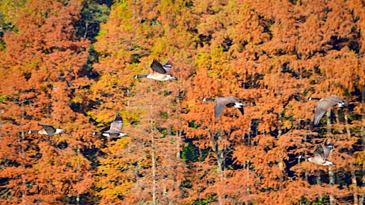DSC_0902geeseflying