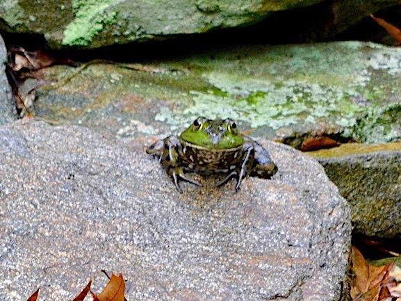 frogDSC_0477